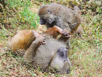 Baboon. Couple of baboons in the crater of Gorongoro, Tanzania Royalty Free Stock Images