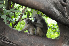 Baboon at delousing occupation  - Tanzania Stock Images