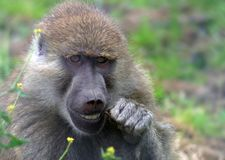 Baboon Dentistry. A Yellow Baboon cleans its teeth with a twig Stock Photos
