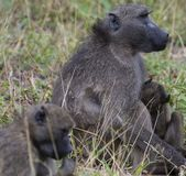 Baboon, disambiguation, sitting on ground and holding baby. To chest with green grass in background. Kruger National Park, South Africa royalty free stock photo
