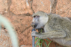 Baboon drinking from a tap in Tsavo national park. Royalty Free Stock Images