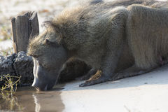 Baboon drinking water on the choebe river. A baboon kneels and cautiously drinks water from the choebe river Stock Photography