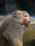Baboon in the early evening sun Stock Photo