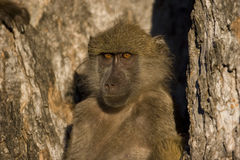 Baboon in the early morning Royalty Free Stock Photo