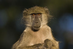 Baboon in the early morning Royalty Free Stock Image