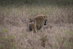 Baboon. In East Africa at Lake Nakuru Royalty Free Stock Images
