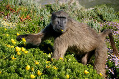 Baboon eating. Big baboon eating flowers, South Africa Royalty Free Stock Image