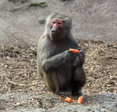 Baboon Eating a Carrot. One of the baboons of the Melbourne Zoo having a little snack royalty free stock images