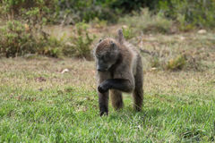 Baboon eating in De Hoop nature reserve Stock Image