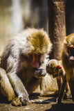 Baboon eating a family group and monkey Stock Images