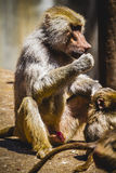 Baboon eating a family group and monkey royalty free stock image