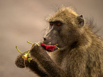 Baboon eating flowers. This baboon was seen devouring some fresh sausage tree flowers during a very dry season with very little fresh food Royalty Free Stock Photos