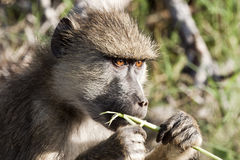 Baboon eating grass Stock Image