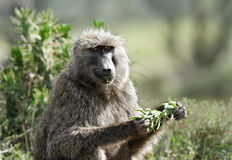 A Baboon eating green leaves Stock Image