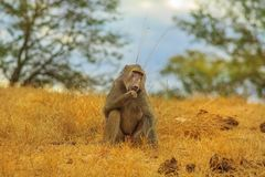 Baboon eating Kruger. Chacma Baboon, Papio ursinus, eating in the grassland nature. Dry season. Cape baboon it is one of the largest of all monkeys. Kruger stock photos