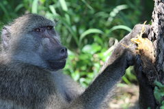 Baboon eating a sausage fruit Royalty Free Stock Images