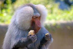 Baboon eating Stock Photos