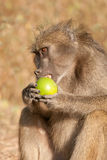 Baboon eating a wild fruit. Chacma baboon feeding on a wild fruit Royalty Free Stock Photo