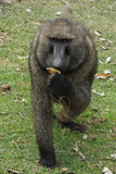 Baboon, Ethiopia, Africa Royalty Free Stock Images