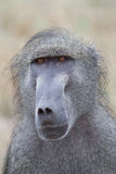 Baboon face Stock Photos