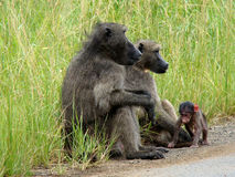 Free Baboon Family Stock Images - 12815654