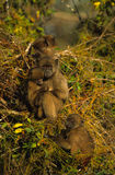 Baboon Family Stock Photos