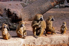 A baboon family. At the zoo Stock Photo