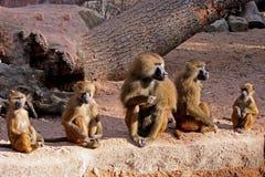 A baboon family Stock Photo