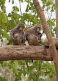 Baboon family Royalty Free Stock Images