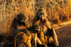 Free Baboon Family Royalty Free Stock Images - 52335759
