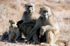 Baboon family. African Baboon Family sitting in the winter sun royalty free stock images