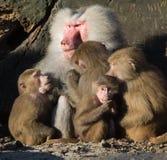 Baboon family stock photo