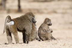 Baboon family. Male baboon standing behind of two females monkey with babies , Masai Mara National reserve, Kenya stock photo