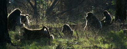 Baboon family. Troop of baboons in Tokai Forest near Cape Town Stock Images