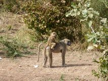 Baboon family Zambia safari Africa nature wildlife stock images