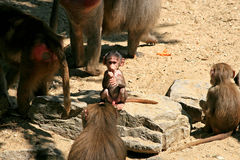 A baboon family and baby royalty free stock photos