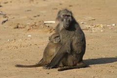Baboon family Stock Photos