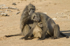 Baboon family Royalty Free Stock Image