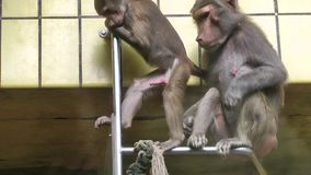 Baboon Family stock video footage
