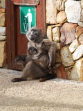 Baboon family at Cape Point. Cape of Good Hope, South Africa-July 30, 2015:Cape of Good Hope Nature Reserve Stock Photos