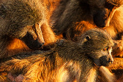 Baboon family cub portrait stock photography