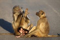 Baboon family Stock Image