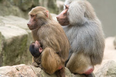 Baboon Family. With a female breastfeeding her baby Stock Photos