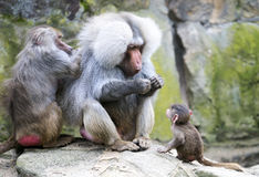 Baboon family Stock Photography