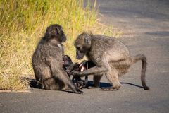 A baboon family with its baby. A baboon family takes care about their baby Addo Elephant Nationalpark stock photo