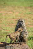 Baboon family Stock Images