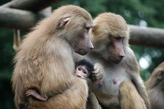 Baboon family - parents with their baby royalty free stock photo