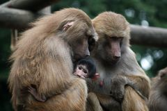 Baboon family - parents with their baby royalty free stock photography
