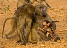Baboon family. These parents were so caring towards their new-born infant, seen in the wild in kruger national park south africa Royalty Free Stock Images