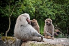 Baboon family. Photo of baboons cozying up in a zoo royalty free stock photo